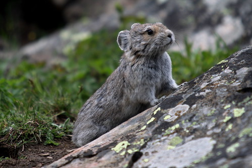 Pika | by Philpete
