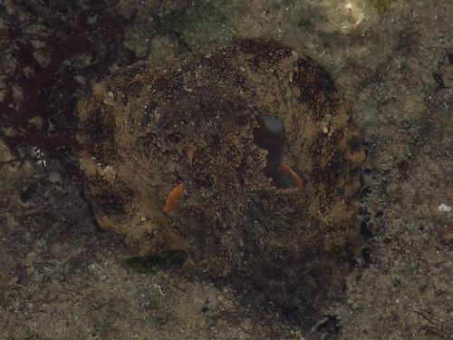 octopoda octopus dscf34511 kingdomanimalia phylum