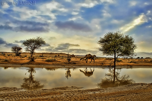 Reflection of Camel HDR - Explore Front Page | by TARIQ-M
