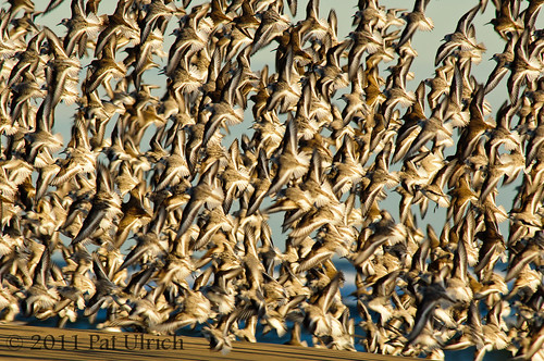 Flock of sandpipers in flight | by Pat Ulrich