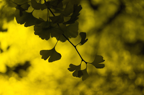 Ginkgo tree in the Odori Park (Night Shot) | by onigiri-kun