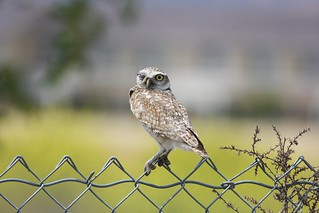 1burrowing owl dave harper oakley | by Contra Costa Times