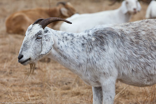 Goats eat weeds at Cloisters City Park July 2011 | by mikebaird