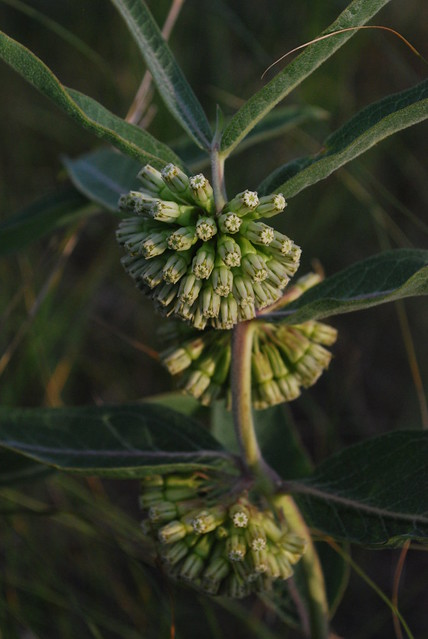 A. viridiflora
