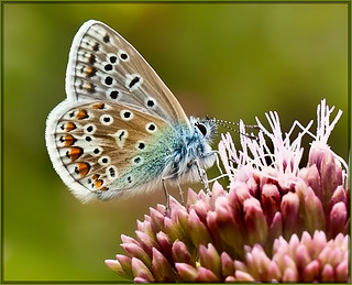 COMMON-BLUE.-2 | by P.N.F