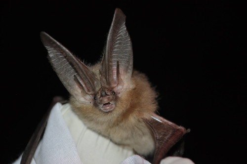 Townsend's big-eared bat | by USFWS Headquarters