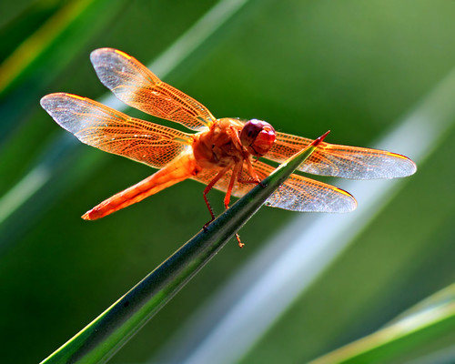 Flame skimmer | by khosey1