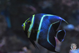 Juvenile French angelfish | by keywest aquarium