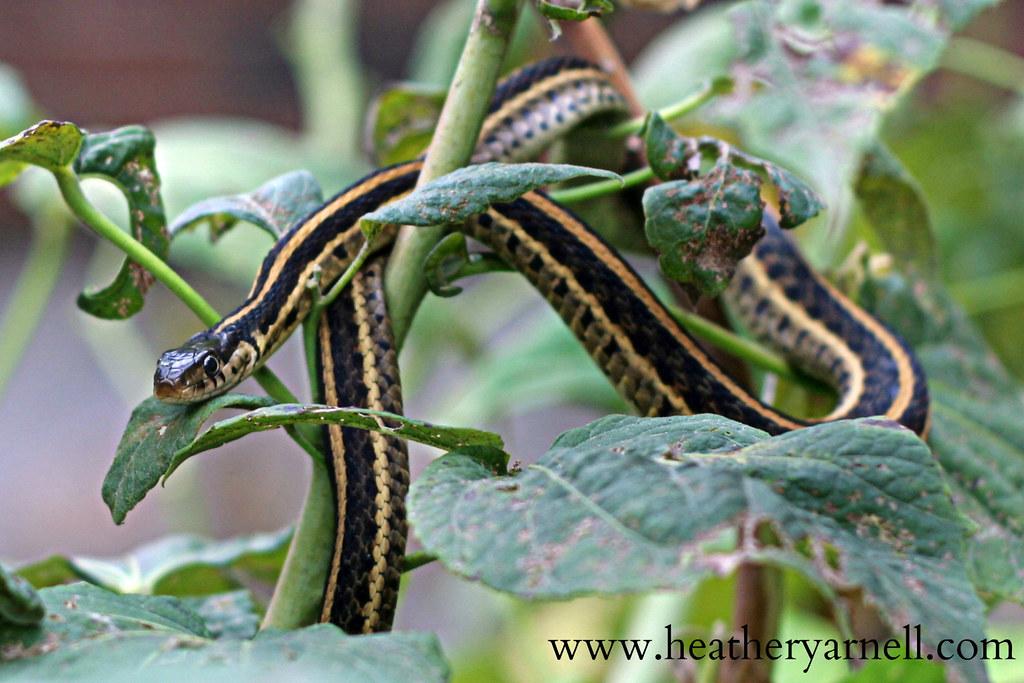 Garter Snake in Hibiscus