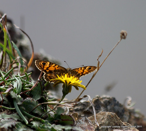 Wall Brown | by Lindsay'sart