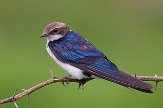 The Wire-tailed Swallow (Hirundo smithii) | by sharadagrawal931978