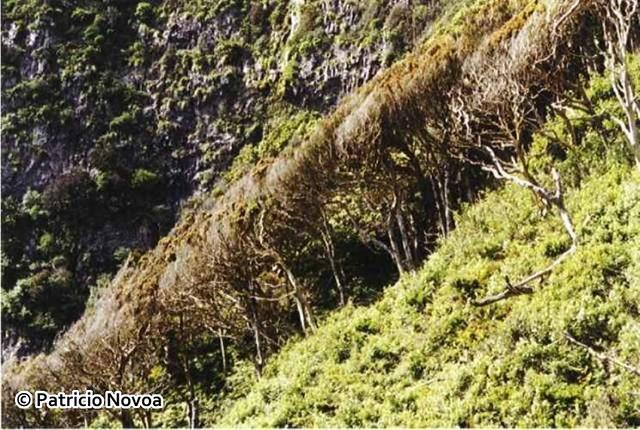 Bosque de Myrceugenia_fernandeziana