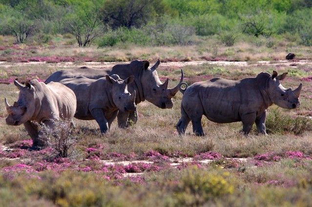 Herd of white rhinoceros South Africa Eastern Cape