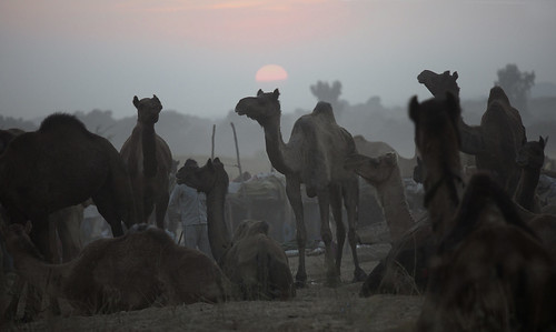 7134 Sunset over the camel fair---Rajasthan , India | by ngchongkin
