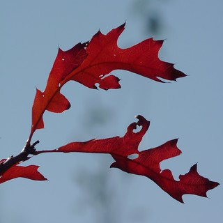Red Oak Leaves | by Dendroica cerulea