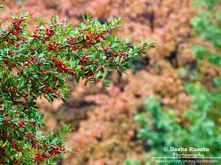 Holly Berries with Fall Foliage | by Dasha Rosato Photography