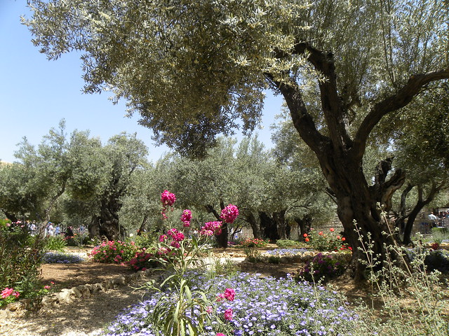 Olive trees in the traditional garden of gethsemane for Age olive trees garden gethsemane