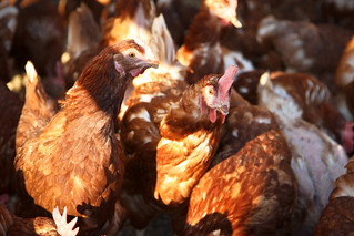 the laying hens | by merry_gourmet