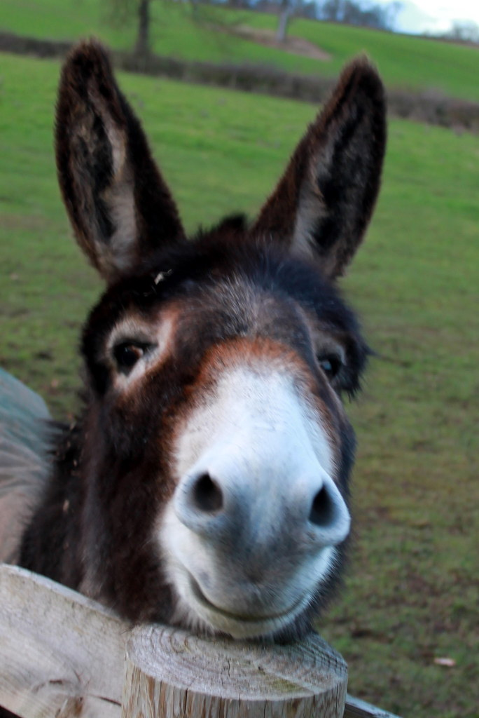 Ic Animal Tarot Cards: Alcester - Smiling Donkey