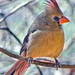 Audabon Image Desert Cardinal