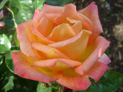 Hybrid Rose - Red Pink Orange by droy333 on DeviantArt   Orange And Pink Roses