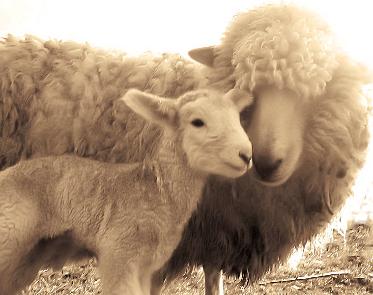 Lamb Sheep Newborn Mother And Child Mom Babies Sepia Ne