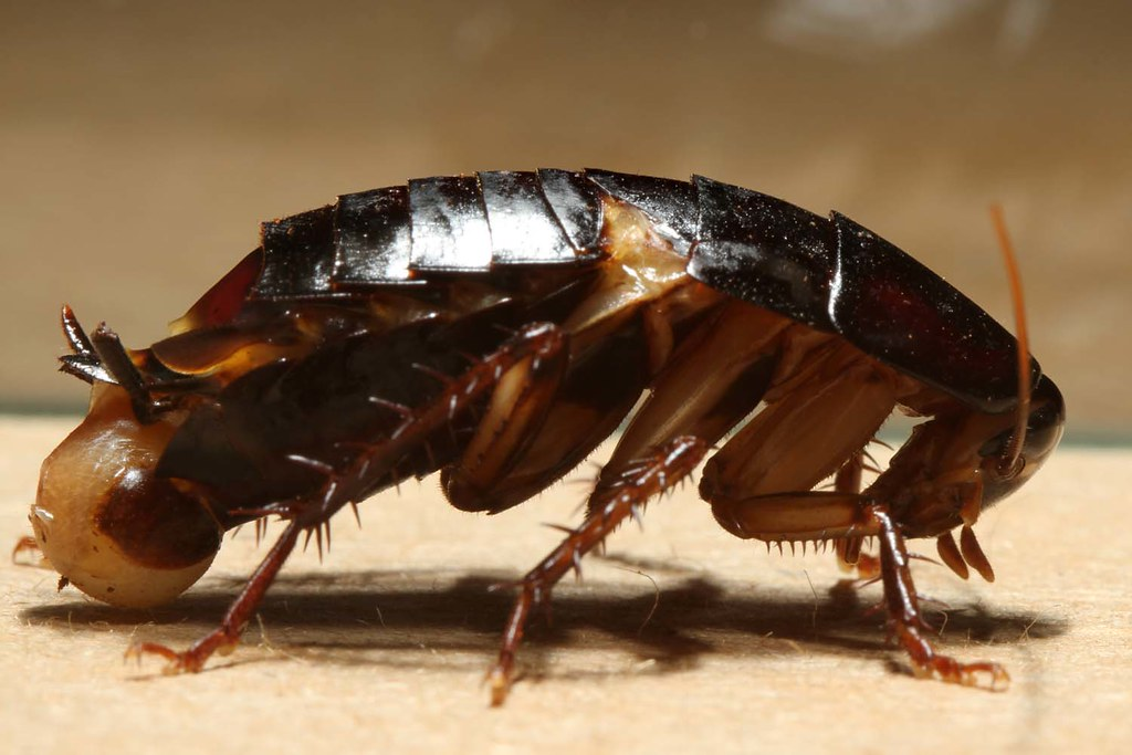 cockroach schabe kakerlake unknown species feel free flickr. Black Bedroom Furniture Sets. Home Design Ideas