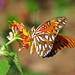12 Days of Christmas Butterflies - #11 Gulf fritillary on lantana