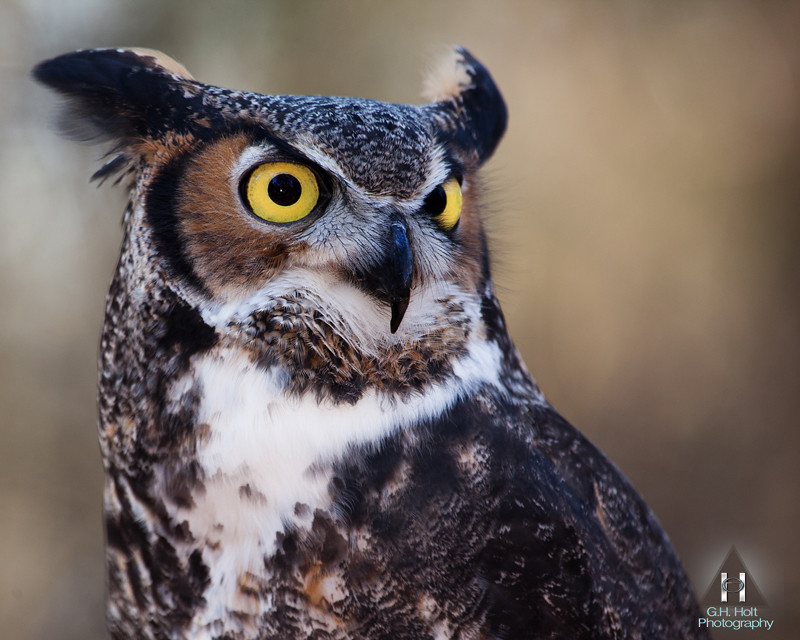 Great Horned Owl George Holt Flickr