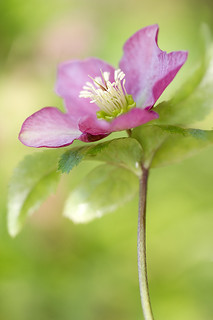 Lenten rose | by Mandy Disher
