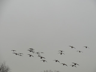 Geese landing at the Parade Ground | by carryboo
