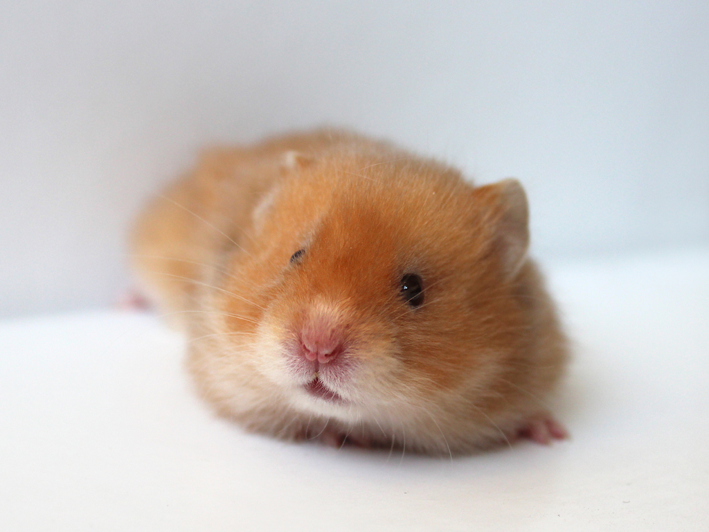 Really Cute Baby Hamsters | Wallpapers Gallery