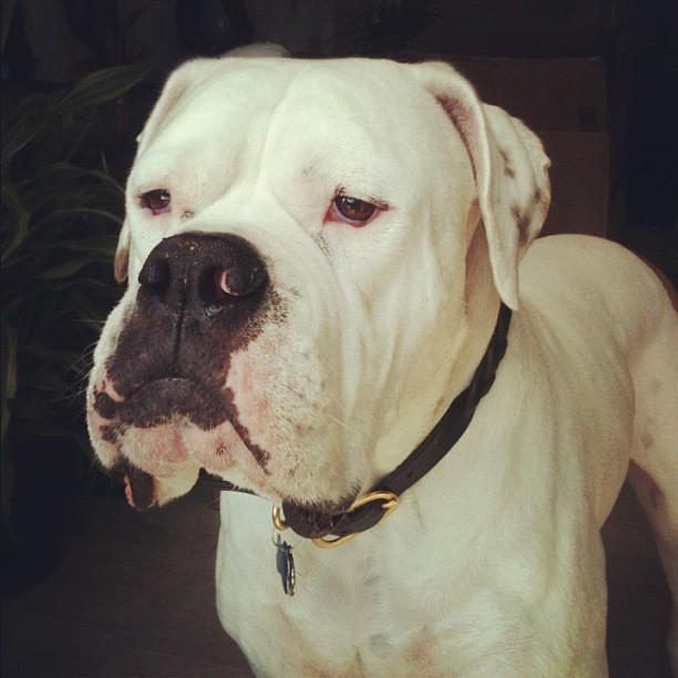 Argentine Mastiff Dog