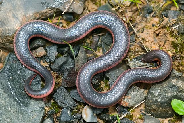 Western Worm SnakeWestern Worm Snake