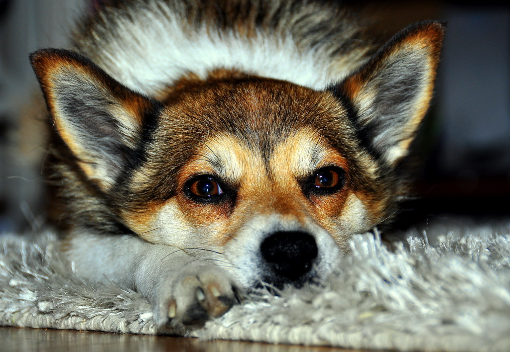Norwegian Lundehund (Puffin dog) | Nikon D90 , 18-200VR ...