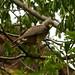 Roadside Hawk / Gavião-da-mata (Rupornis magnirostris)