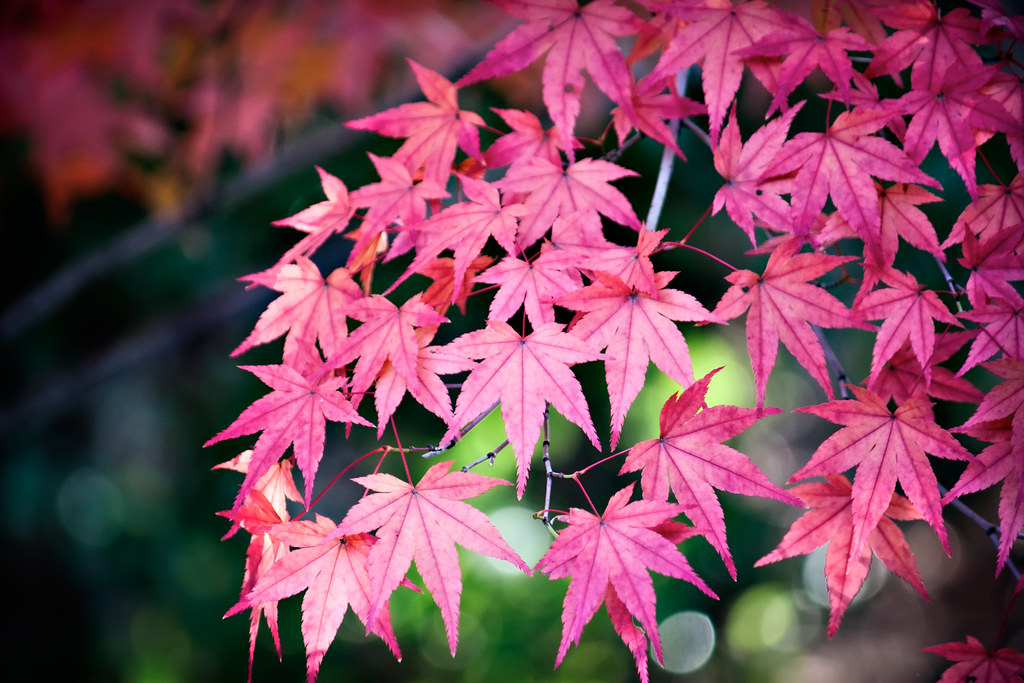 Pretty Leaves Who Doesn T Like Japanese Maple Leaves
