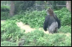 Gorilla Walking Away Gif Elrod256 Flickr