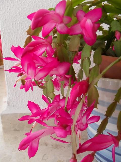 Cactus de navidad flickr photo sharing for Cactus de navidad