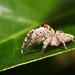 Garden Jumping Spider  Opisthoncus parcedentatus_MG_1689