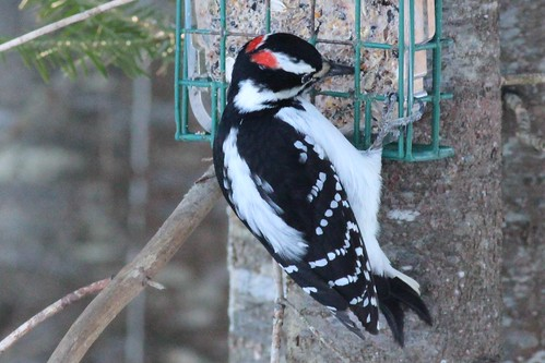 Picoides villosus (Hairy Woodpecker) - male | by Arthur Chapman