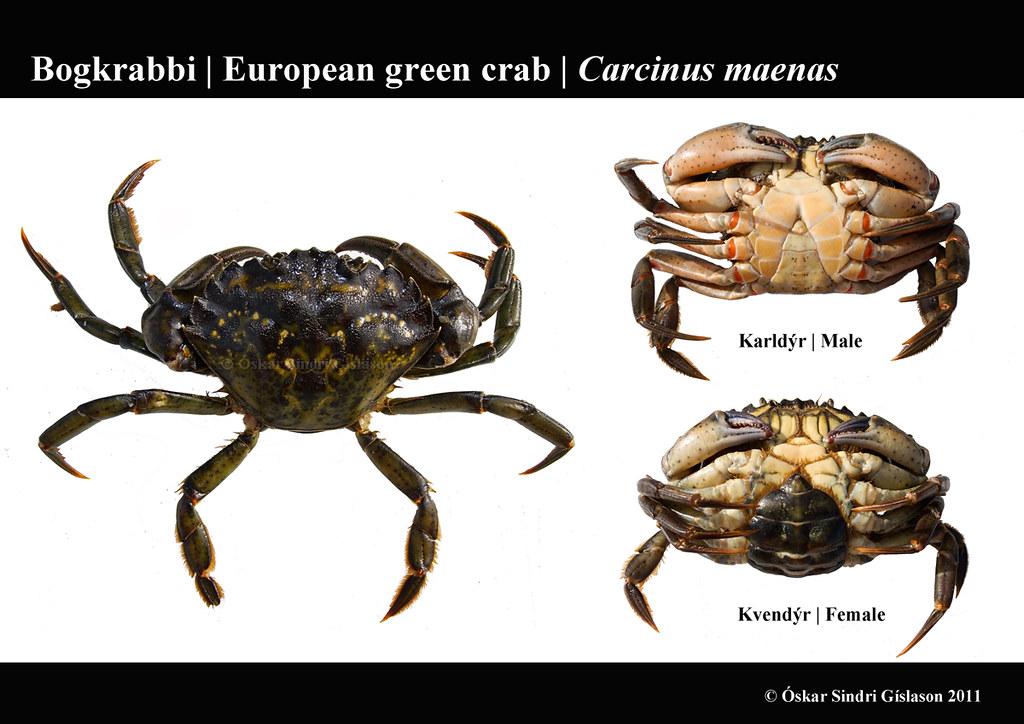 sexual dimorphism crab Stone