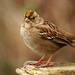Golden-crowned Sparrow 1 - Reifel, British Columbia