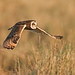 Downbeat!!    (Short Eared Owl)