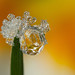 FROSTED DEWDROP 2012  #7