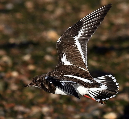 The Turnstone - EXPLORED | by SNAPDECISIONS !