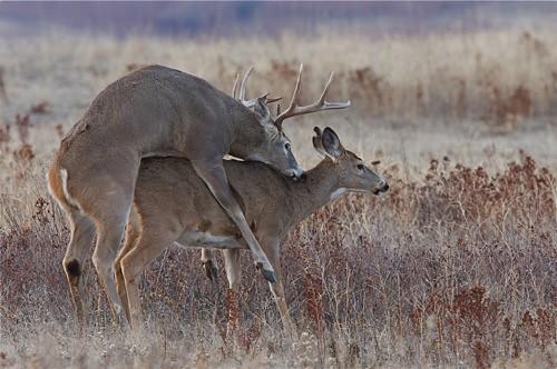 Whitetail Deer Breeding / Mating Behavior   © Tom Reichne ...  Whitetail Deer ...