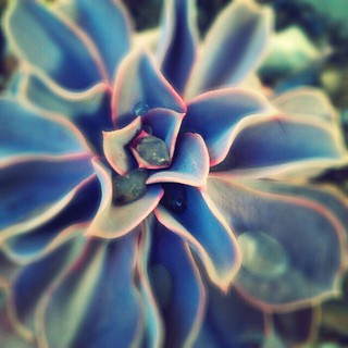 Echeveria | by Kiny McCarrick