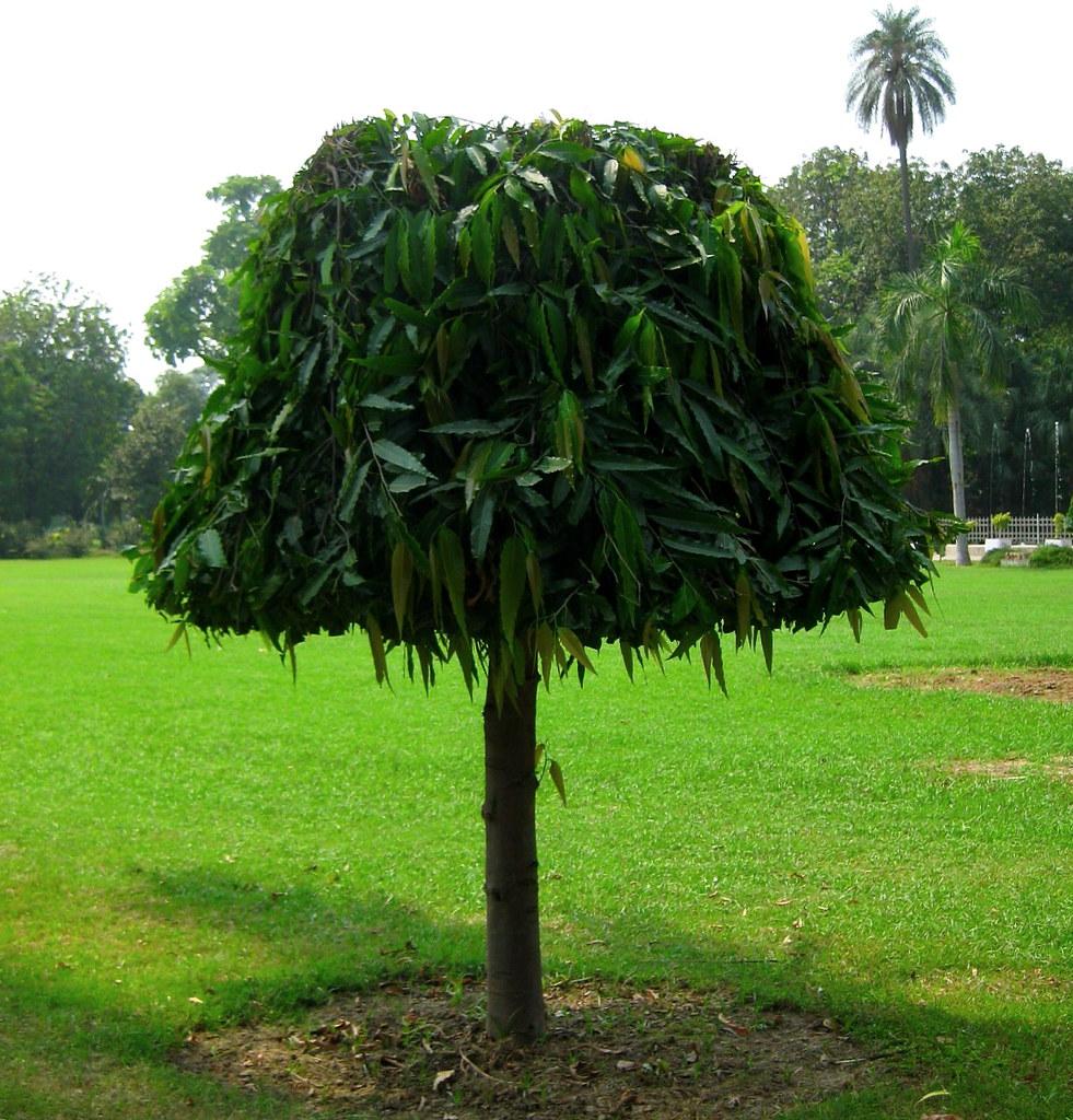 how to make ashoka tree