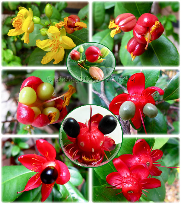 Ochna Kirkii Collage Showing Its Unusual Flowering And Fr